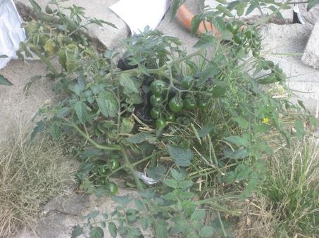 Tomatos sprout from Hoboken sidewalk cracks (photo: nj.com)